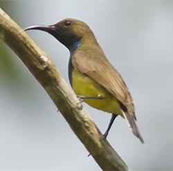Male Olive-backed Sunbird by Pieter Verheij