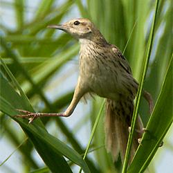 Striated Grassbird by Johan Svensson