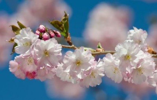 Macon Georgia is the Cherry Blossom Capital of the United States