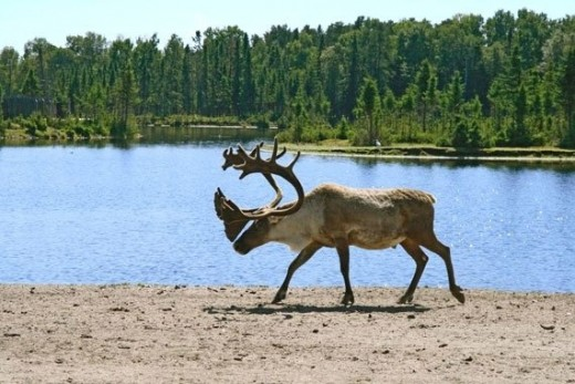 A Reindeer In Front Of The Borealis Forest