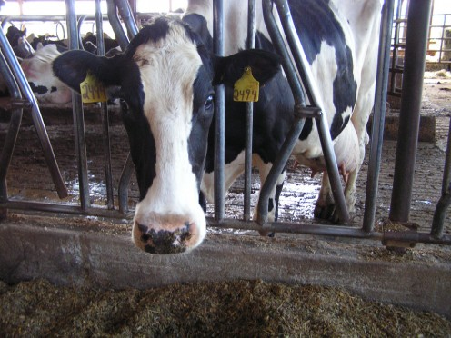 Dairy cow in a factory farm