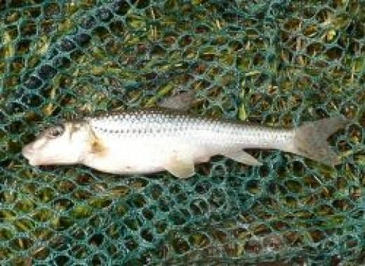 British Coarse Fishing - Gudgeon