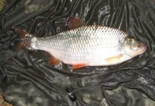 British Coarse Fishing - Roach