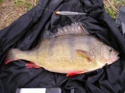 British Coarse Fishing - Perch