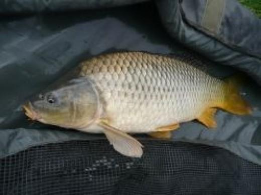 British Coarse Fishing - Carp
