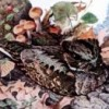 The Lonesome Whippoorwill