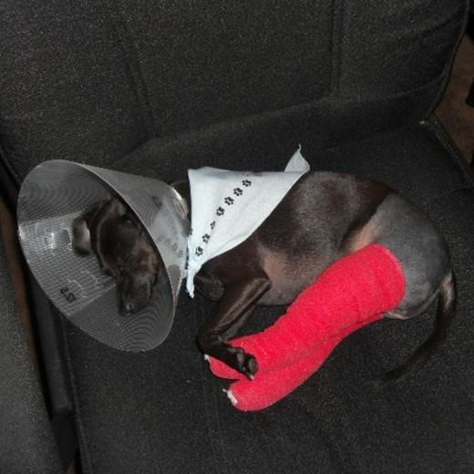 My Dog Midnight After Knee Surgery