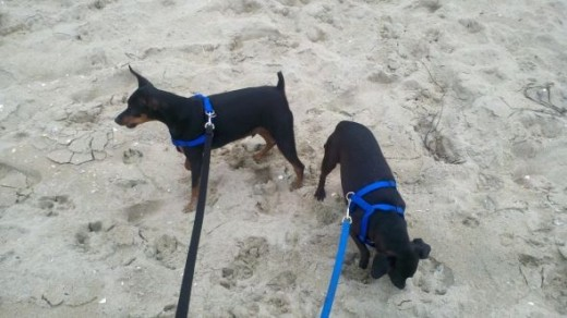 Midnight and Gator in Dog Harnesses