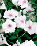 How to Grow Extraordinary Petunias Throughout the Summer