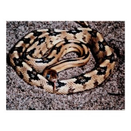 An unusual yellow black rat snake.