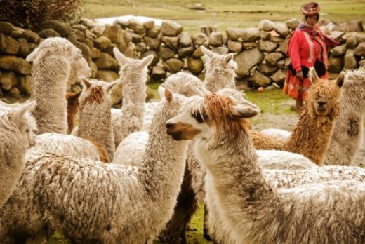 Lucia Castillo Yupanqi of Chaullacocha watches over her herd.