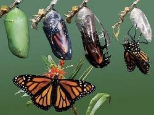 Metamorphosis of Butterflies
