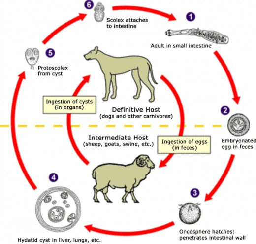 Holistic Treatment For Tapeworms In Dogs