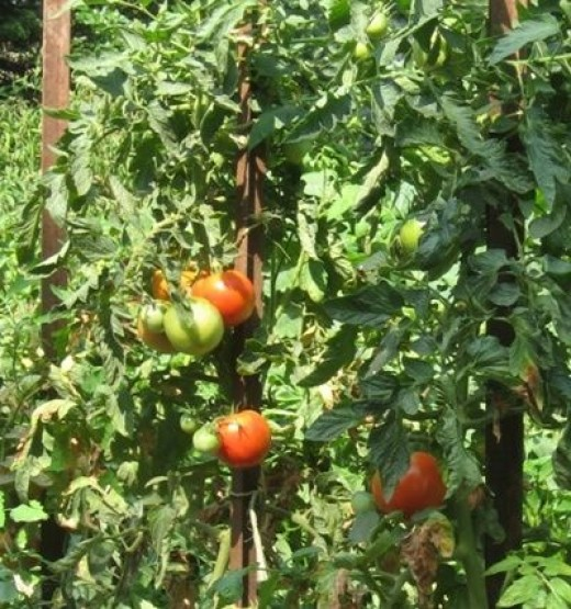 Step Outside Your Kitchen Door to Fresh Tomatoes and Herbs