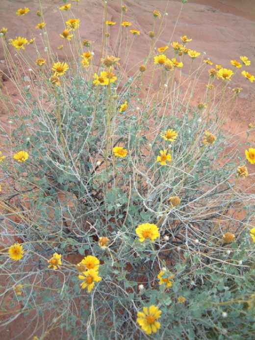 The best times for viewing wildflowers in the Valley of Fire is March and April.  By mid-May, nearly all the blossoms have finished as temps start to hit 100 degrees in the daytime.