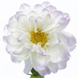 White Dahlia with lavender edged petals, from Fifty Flowers