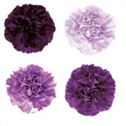Selection of purple, violet and lilac carnations available from fifty flowers