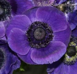 Blue/purple anemone from Whole Blossoms