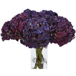 PurpleBerry Hydrangea