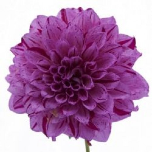 Striped Purple Dahlia from Fifty Flowers