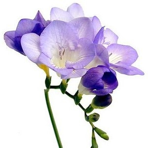 Freesias have a  delightful scent and are easy to arrange.You'll find them in shades from white through lilac to deep purple, they add the dimension of fragrance, something which will enhance your memories.