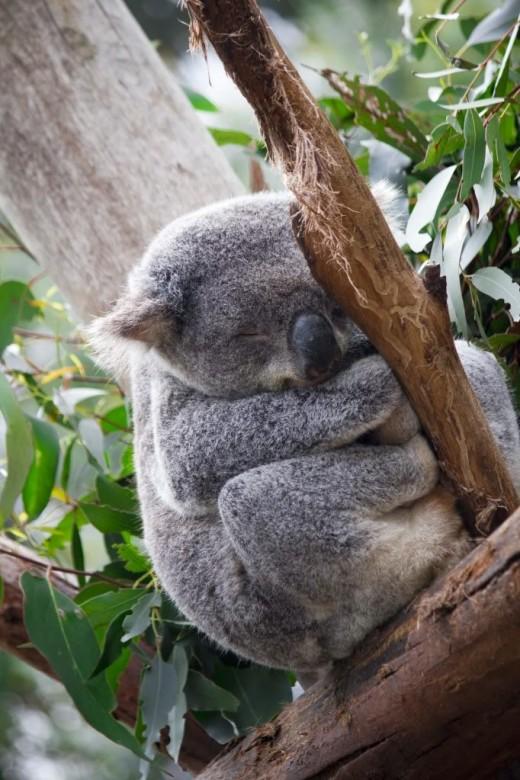 Koala Resting In Tree
