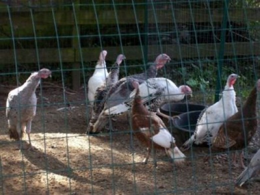 Picture of Raising Turkeys at Home