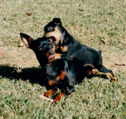 Miniature pinscher mother and pup playing
