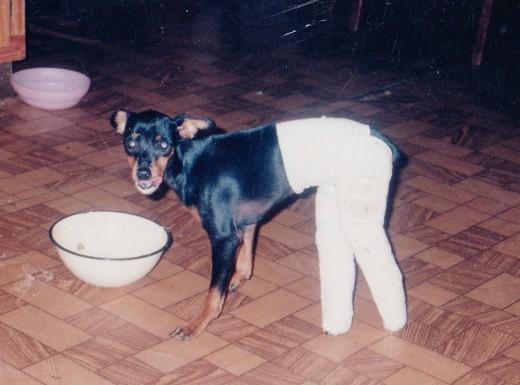 Pinscher puppy with broken legs and splints