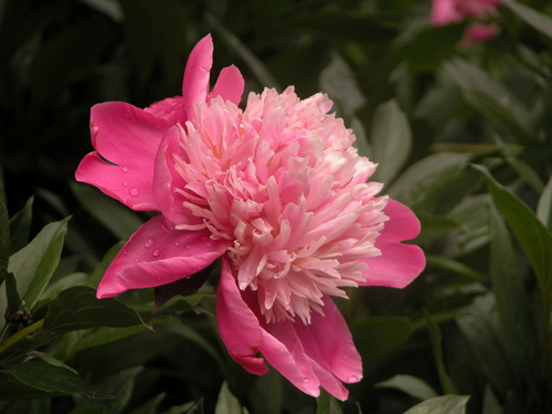 Double pink peony - beautiful flowers, great fragrance, and when the flowers are over, an attractive foliage.