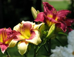 Daylilies are hardy and extremely low maintenance. Huge flowers in several varieties.