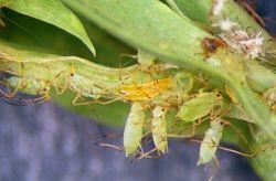 A predatory midge between pea aphids - Whitney Cranshaw