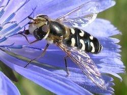The hoverfly Scaeva pyrastri