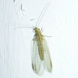 A common green lacewing - own photo