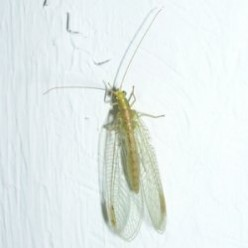 The Common Green Lacewing, Our Ally Against Aphids and Other Pests