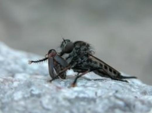 Robber fly feeding