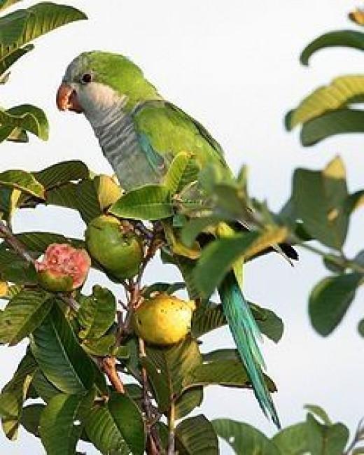 Monk Parakeet    source: Wikipedia