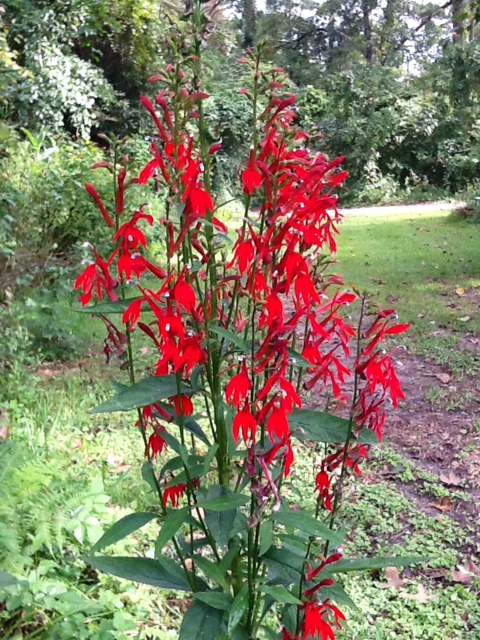 The dust-like seeds of Cardinal flower are contained in capsules. When the capsules turn brown, but before they pop open, clip off the whole spire and dry in a paper bag. Plant the seeds by popping open the capsules and sprinkling the seeds over soil
