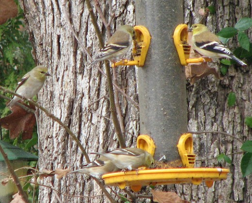 Goldfinches flock to thistle and sunflower seed feeders.