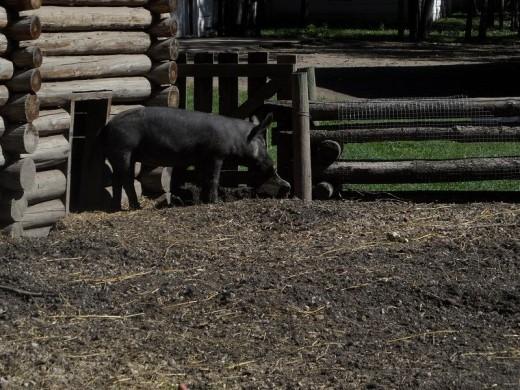 Meet Porkchop