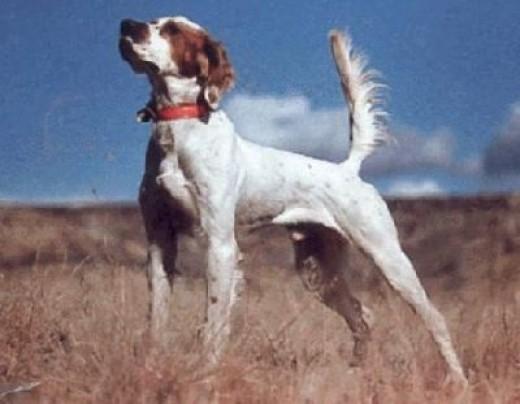 Hall of Fame Champion Setter Tekoa Mountain Sunrise my pup's grandpa.