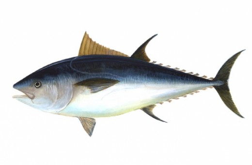 Bluefin Tuna Wikipedia, the free encyclopedia