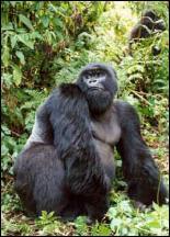 Gorilla beringeri