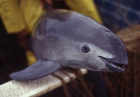 Vaquita Porpoise – Phocoena sinus