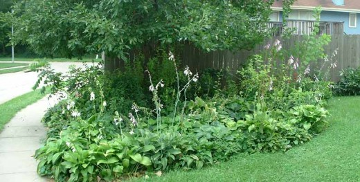 """One of my beloved hosta beds. Hostas are perennial so they are also """"work once, enjoy many."""" This one's growing under a crabapple tree."""