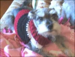 Harry Schnauzer in his custom made doggie sweater - he loved that sweater!