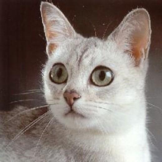 Little Burmilla cat