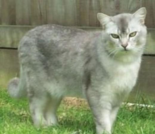 Handsome Burmilla cat