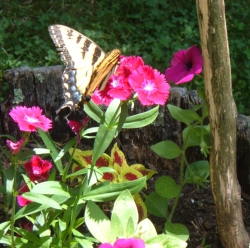 Even small container gardens can attract butterflies