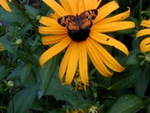 Red Admiral & Brown-Eyed Susans